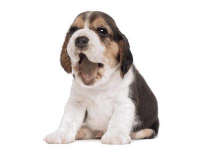 beagle welpen kaufen österreich